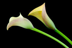 Two yellow calla Stock Image