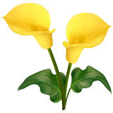Two yellow calla flowers Royalty Free Stock Photography