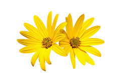 Two yellow chamomile Stock Image