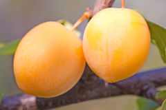 Two Yellow Cherry Plums. On the branch Royalty Free Stock Photography