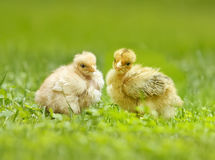 Two yellow chicken Royalty Free Stock Photos