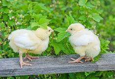 Two yellow chicken Stock Photography