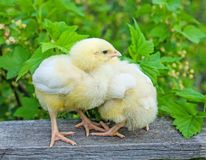 Two yellow chicken Royalty Free Stock Photography