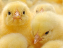 Two yellow chickens Stock Photography