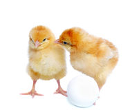 Two yellow chickens and egg Royalty Free Stock Photo