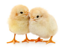 Two yellow chickens. Royalty Free Stock Photography