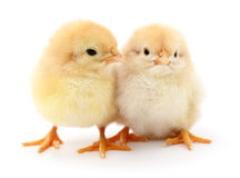 Two yellow chickens. Royalty Free Stock Photos