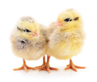 Two yellow chickens. stock photography