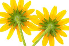 Two Yellow Coneflowers Royalty Free Stock Photos