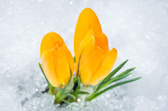 Two yellow crocuses Royalty Free Stock Photography