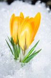 Two yellow crocuses. Two yellow crocus flowers in snow Royalty Free Stock Image