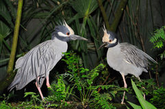Two Yellow Crowned Night Herons Stock Photography