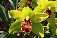 Two yellow Cymbidium boat orchid flowers with patchy red to yelow lip petal. Natural sunshine royalty free stock image