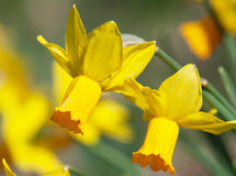 Two yellow daffodils Royalty Free Stock Photos