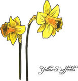 Two yellow daffodils Stock Image