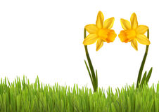 Two Yellow Daffodils Royalty Free Stock Image