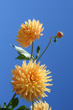 Two yellow dahlias against blue sky. Two yellow dahlias with the bud against blue sky Stock Photo