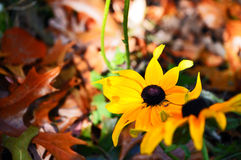 Two yellow daisies surrounded by fall Stock Photography