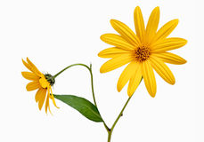 Two yellow daisy. On white isolated Stock Image