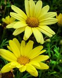 Two yellow daisy stock photos