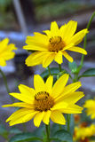 Two yellow daisy flowers. In the garden stock photos