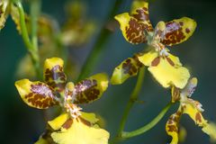 Yellow Dancing lady orchids stock photos