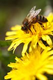 Two yellow dandelion and bee on a flower. close up Stock Image