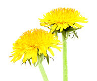 Two yellow dandelion closeup. Two yellow dandelion closeup isolated a white background royalty free stock photography