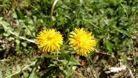 Two yellow dandelion flower among fresh green grass . Shallow depth of focus . Spring concept . Royalty Free Stock Photo
