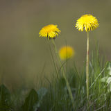 Two yellow dandelions against green background Royalty Free Stock Image