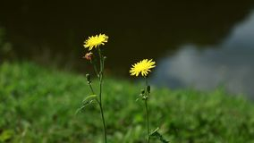 Two yellow dandelions on the background of a blurred lake.  stock video footage