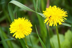 Two yellow dandelions on background of green grass closeup macro stock photo