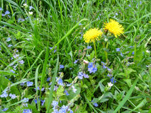 Two yellow dandelions among young juicy green grass and small blue flowers of the bird`s-eye speedwell Stock Photo