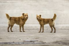 Two yellow dogs pet with puffy tails outdoors.  Royalty Free Stock Photo