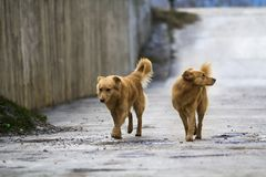 Two yellow dogs pet with puffy tails outdoors.  Stock Photos