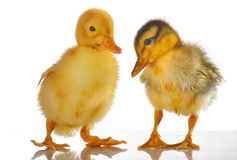 Two yellow duck Stock Photos