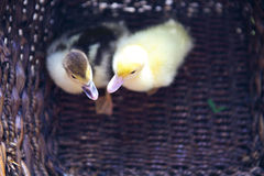 Two yellow duckling outdoors in the basket Royalty Free Stock Photography
