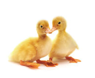 Two yellow ducklings. Who are represented on a white background Royalty Free Stock Images