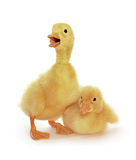 Two Yellow Ducklings Stock Images