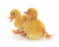 Two yellow ducklings. Who are represented on a white background Royalty Free Stock Photos