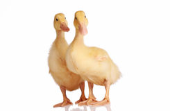 Two yellow ducklings isolated Stock Photo