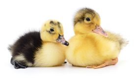 Two yellow ducklings royalty free stock photos