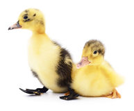 Two yellow ducklings. stock images