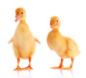 Two yellow ducks Stock Photography