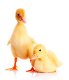 Two yellow ducks Royalty Free Stock Images