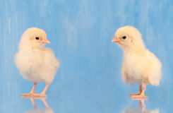 Two yellow Easter chicks against blue background Royalty Free Stock Images