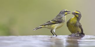 Two Yellow-eyed Canaries interact before drinking and having a b. Ath in a shallow pool Royalty Free Stock Photos