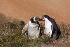 Two Yellow Eyed Penguins kissing Royalty Free Stock Photo