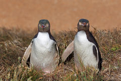 Two Yellow Eyed Penguins looking straight into the camera. South Island, New Zealand Royalty Free Stock Images