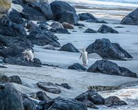 Yellow eyed penguins on the beach, Otago, New Zealand. Two yellow eyed penguins make their way across the otago beach Royalty Free Stock Photo